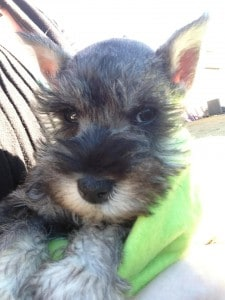 Miniature Schnauzer #puppy #dog