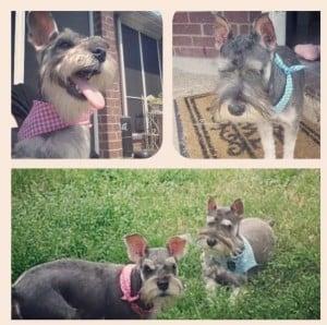 Miniature Schnauzers #dogs